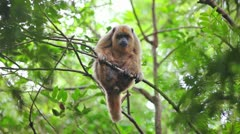 Howler Monkey sitting on a tree Stock Footage