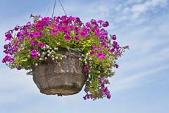Petunia hanging basket Stock Photos