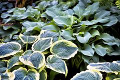 perennial hosta - stock photo