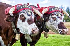 oxen team - stock photo
