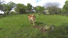 Calf walks in the meadow Stock Footage