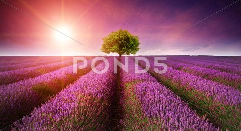 Stock photo of stunning lavender field landscape summer sunset with single tree on horizon