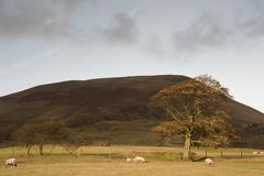 Autumn tree and sheep in foothills of kinder scout in peak district national Stock Photos