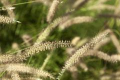 field of foxtail grass - stock photo