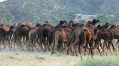 Herds of camels Pushkar Camel Fair, India Stock Footage