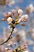 Spring cherry blossom against blue sky, close-up Stock Photos