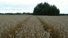 Tractor wheel marks agriculture ripe wheat field ears move wind Stock Footage