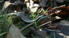 salamander - HD - stock footage