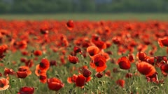 Red poppies. Close-up Stock Footage