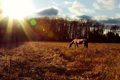 Horse Grazing at Sunset - stock photo