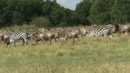 WILDEBEEST AND ZEBRA Stock Footage