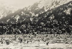 Winter shorebirds in flight Stock Photos
