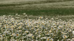 Stock Video Footage of Camomile meadow