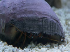 A close-up of a  hermit crab . Stock Footage