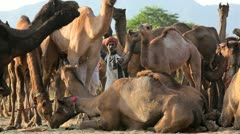 Herds of camels Pushkar Camel Fair, India - stock footage