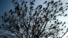 Blackbirds in tree silhouette Stock Footage