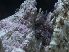 A  hermit crab moving his old shell around . Stock Footage