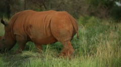 Pair of rhinos walking - stock footage