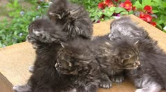 Maine Coon kittens (3 weeks old)  on table in garden. - stock footage
