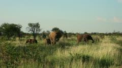 Elephants and two baby elephants grazing Stock Footage