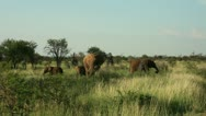 Stock Video Footage of Elephants and two baby elephants grazing