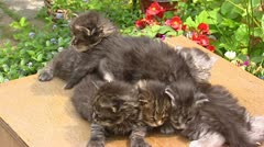 Maine Coon kittens (3 weeks old)  on table in garden 02 Stock Footage