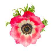 Punainen anemone kukka lähikuva Kuvituskuvat