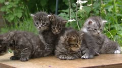 Maine Coon kittens (3 weeks old)  on table in garden - low angle - stock footage