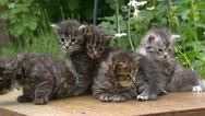 Maine Coon kittens (3 weeks old)  on table in garden - low angle Stock Footage