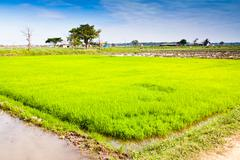 In rice cultivation. Stock Photos