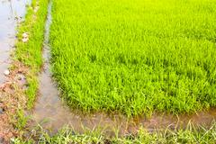 in rice cultivation. - stock photo