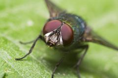 Green Housefly - stock photo