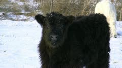 Black Galloway Calf - Northern Germany Stock Footage