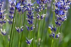 Lavender flower (lavandula x intermedia) Stock Photos