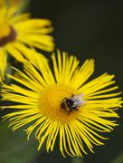 little bee pollinate a yellow daisy - stock photo