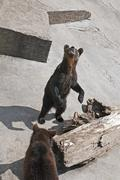 Two brown bears at zoo (ursus arctos arctos) Stock Photos