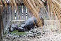 Pygmy hippopotamus (choeropsis liberiensis) and a baby Stock Photos