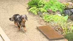 Dachshund runs over garden terrace. Stock Footage