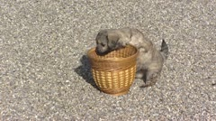 Stock Video Footage of Little lion dog, Petit chien lion pup  plays with basket.