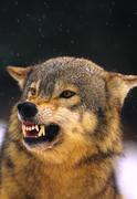 Wolf Snarling - stock photo