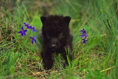 Grey Wolf Pup Stock Photos