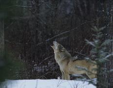 Grey Wolf Howling Kuvituskuvat