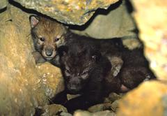 Grey Wolf Pups in Den - stock photo
