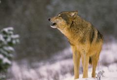 Wolf Howling Kuvituskuvat