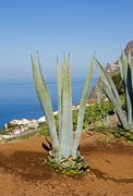 Aloe in front of the sea  Madeira - stock photo
