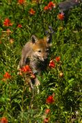 Grey Wolf Pup in wildflowers Stock Photos