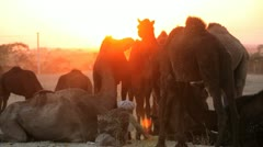 Camel herdsman at sunset Pushkar, India Stock Footage
