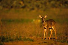 Whitetail Deer Buck Spike - stock photo