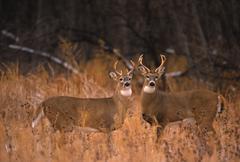 Whitetail Deer Bucks Stock Photos
