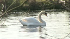Mute swan flapping wings Stock Footage